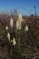 asphodelaceae-bulbinella_cauda-felis.jpg