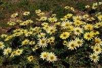 asteraceae-arctotheca_calendula.jpg