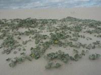 asteraceae-arctotheca_populifolia.jpg