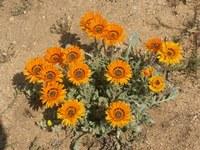 asteraceae-arctotis_fastuosa.jpg