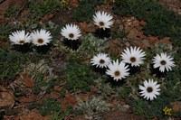 asteraceae-arctotis_sp.jpg