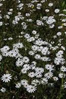 asteraceae-dimorphotheca_nudicaulis.jpg