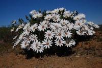 asteraceae-dimorphotheca_sp.jpg