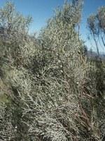 asteraceae-elytropappus_rhinocerotis.jpg
