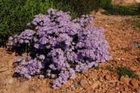 asteraceae-felicia_filifolia_1.jpg