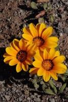asteraceae-gazania_heterochaeta_1.jpg