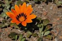asteraceae-gazania_heterochaeta_2.jpg