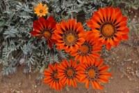 asteraceae-gazania_leiopoda.jpg