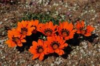 asteraceae-gazania_rigida.jpg