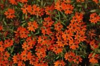 asteraceae-gorteria_diffusa_1.jpg