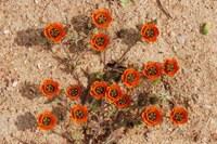 asteraceae-gorteria_diffusa_ssp_calendulacea.jpg