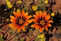 asteraceae-gorteria_diffusa.jpg