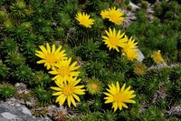 asteraceae-oedera_capensis_1.jpg