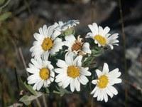asteraceae-osmitopsis_asteriscoides_1.jpg
