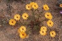 asteraceae-osteospermum_pinnatum_2.jpg