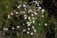 asteraceae-polyarrhena_reflexa.jpg