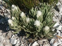 asteraceae-syncarpha_argyropsis.jpg