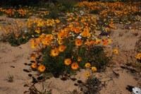 asteraceae-ursinia_cakilefolia_2.jpg