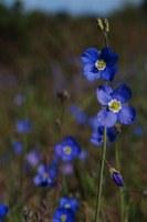 brassicaceae-heliophiila_sp.jpg