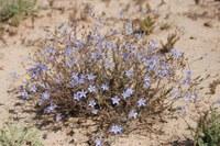 campanulaceae-wahlenbergia_sp.jpg