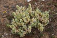 chenopodiaceae-atriplex_lindleyi_ssp_inflata.jpg
