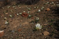colchicaceae-androcymbium_crispum_1.jpg