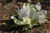colchicaceae-androcymbium_crispum.jpg