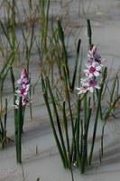 colchicaceae-onixotis_stricta.jpg