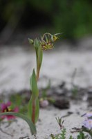 colchicaceae-ornithoglossum_vulgatum.jpg