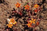 crassulaceae-crassula_dichotoma.jpg