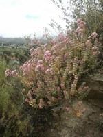 crassulaceae-crassula_rupestris.jpg
