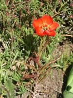 droseraceae-drosera_cistiflora.jpg