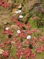 droseraceae-drosera_trinervia.jpg