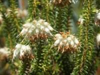 ericaceae-erica_bruniifolia.jpg