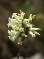 ericaceae-erica_daphniflora_1.jpg