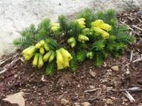 ericaceae-erica_nana.jpg