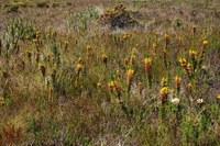 ericaceae-erica_patersonii.jpg
