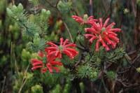 ericaceae-erica_sp_1.jpg