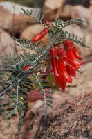fabaceae-sutherlandia_frutescens.jpg