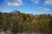 fynbos-bruniaceae.jpg
