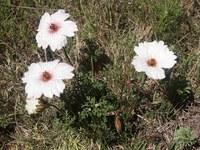 geraniaceae-monsonia_speciosa.jpg