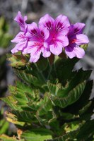 geraniaceae-pelargonium_betulinum_1.jpg