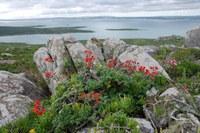 geraniaceae-pelargonium_fulgidum_1.jpg