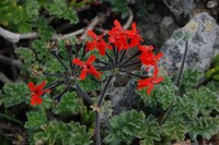 geraniaceae-pelargonium_fulgidum.jpg