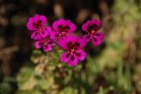 geraniaceae-pelargonium_magenteum.jpg