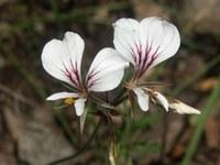 geraniaceae-pelargonium_myrrhifolium.jpg