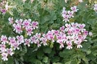 geraniaceae-pelargonium_sp_1.jpg