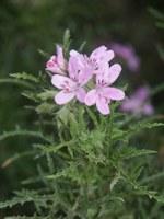 geraniaceae-pelargonium_sp_2.jpg