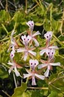 geraniaceae-pelargonium_spinosum.jpg