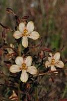 haemodoraceae-wachendorfia_brachyandra_1.jpg